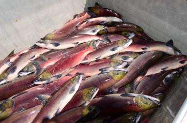 SalmonBabineLakeNation03
