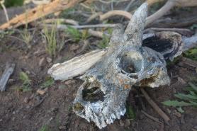 GoatSkull