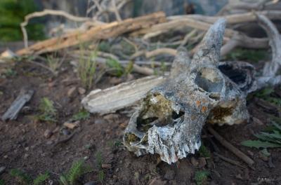 Goat_Skull02